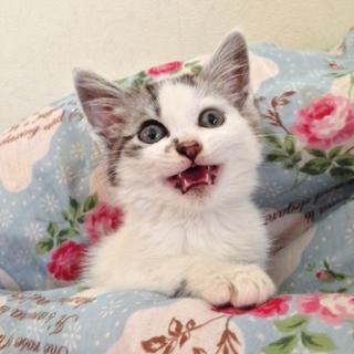 ゴージャス毛並のアンドリュー♂子猫
