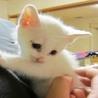 真っ白い子猫の里親募集中