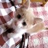 ミルクティx白のぽわぽわ子猫♂