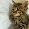 生後1ヶ月半位 イケメン男子なキジ猫君