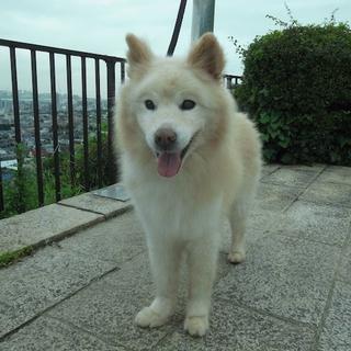 モフモフの迷子雄犬