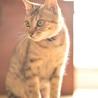猫エイズキャリアのミノリの里親様募集中。