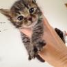 笑顔が可愛いオスのキジ猫「イチ君」の里親さん募集!