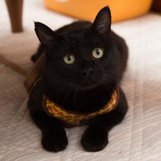 人間大好き、甘えん坊の黒猫 喜希くんです