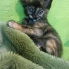 サビ猫ちゃん女の子2カ月