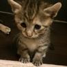 キジトラの可愛い猫ちゃん♡
