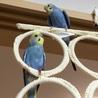 セキセイインコ幼鳥(2羽)里親さん募集