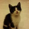 白黒ハチワレ長毛種のふわふわ仔猫ちゃんです