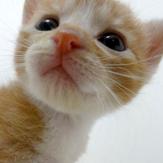◆K14-0015/3兄弟茶白♂赤ちゃん猫
