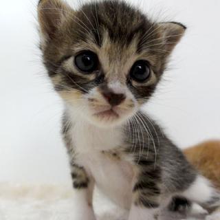 ◆K14-0017/3兄弟キジ白♂赤ちゃん猫