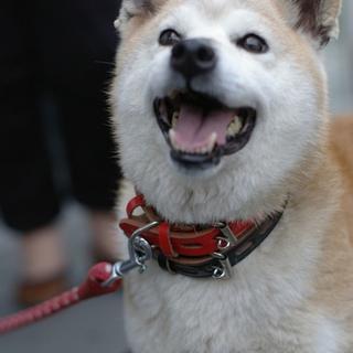 元気でおやつ大好き柴犬ミックス プルちゃん
