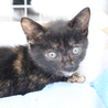 一瞬、黒猫に見えるサビの女の子 チョコちゃん