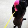 徳島より「幸運をひっかける」カギしっぽの黒猫です