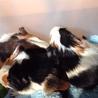 モルモットの子供2匹います。