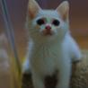 愛くるしい白猫♂「クリス」