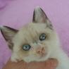 シャム猫ミックスの女の子(尾長です)♪♪
