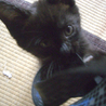 可愛い黒猫の女の子です!(妹猫も里親様同時募集)