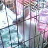 抱っこ大好きな白いミニウサギ・オス