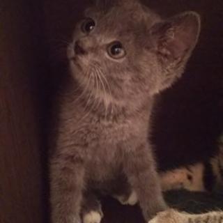 グレーの子猫2か月✿ディーン✿手術済