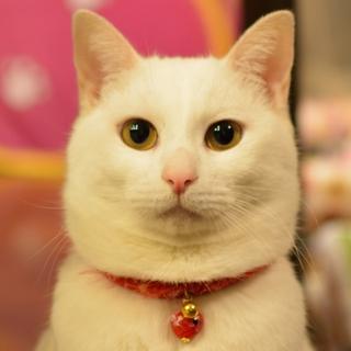 【白猫シロウちゃん 】福島で保護されました