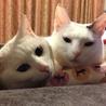 【白猫シロウちゃん 】福島で保護されました サムネイル2