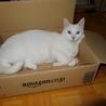 幸運を呼ぶ白猫オッドアイ!(*゚∀゚)