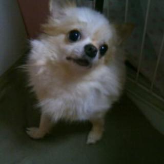 ロングコートチワワ 白」兵庫県 , 犬の里親募集(43369