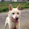 紀州犬 キッシュ! (^O^)/ サムネイル3