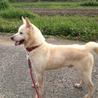 紀州犬 キッシュ! (^O^)/ サムネイル4