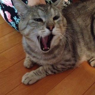人・猫大好き♪優しいフレンドリー猫【銀次♂】