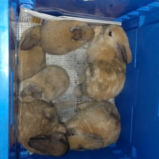 ミニウサギの赤ちゃん生まれました!