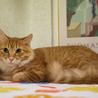 茶トラ(半長毛)1歳の若猫さん