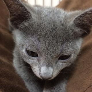かわいいロシアンブルーの子猫