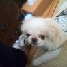 元気で甘えん坊のペキニーズの子犬のパパ&ママ募集!
