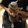 少し小さいロシアンブルー(メス)成猫