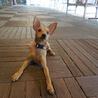 ミニピン子犬 タンジーちゃん サムネイル2