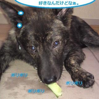 甲斐犬ミックス♂6ケ月 りんくん