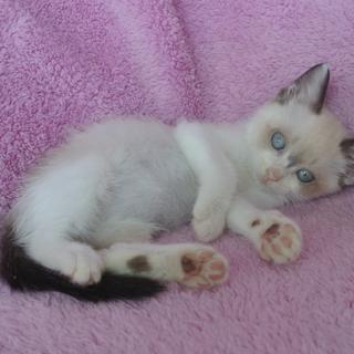 添い寝大好きシャム猫ミックスの女の子(埼玉県飯能)