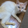 やや長毛の薄茶のシャムっぽい猫