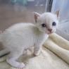 シャム系ミックス ブルーアイの赤ちゃん猫