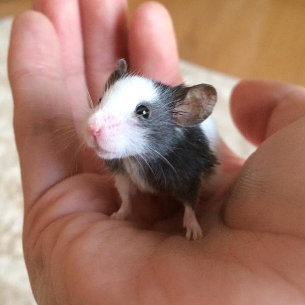 パンダマウス!