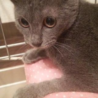おっとりグレーの子猫♥マリー♥4か月手術済