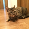 アビシニアン風★サビ美猫カノンちゃん 1歳前後 サムネイル2