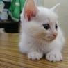 野良の猫から生まれた子猫の里親募集【ユキコ】