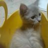 不思議色の子猫麦ちゃん