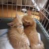 三毛ママの子猫5匹の里親募集(茶トラ兄弟)