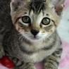 シンガプーラ的子猫★カムイ