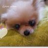 盲目の極小天使ポメ♀4~6才☆1.7キロ