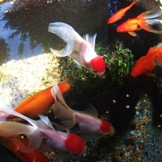 金魚11匹(丹頂・琉金・和金)+池+ポンプあげます