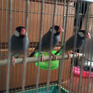 桜文鳥里親募集中です!若鳥♂3羽(残り1羽です!)